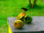 during mango season, even the birds fill up on the scrumptious fruit