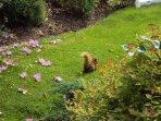 Red squirrel on Nutkin grass