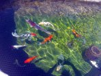 The koi fish are always happy to see you :)