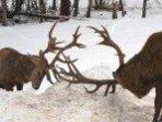 Cerfs au combat  dans la neige