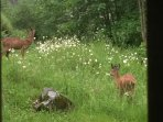 Deer in the garden at twilight eating wild flowers Mother and fawn