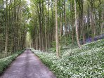 The drive to Ingleby Manor lined with Bluebells and Wild Garlic
