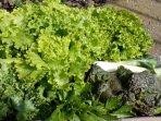 Ofrecemos a nuestros huéspedes nuestra verdura ecológica, cuándo la tierra nos la dá.