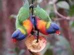 Rainbow Lorikeets tandem feeding