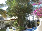 Our stunning tropical shade tree.