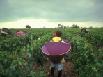 Saint Emilion Wine Picking