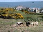 My shetland ponies in my front field.