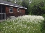 Early Summer Drift of Wild Daisies