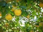Meyer Lemon ready for picking