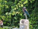 Kingfisher visits