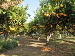 Amongst the orange trees in the garden