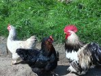 A selection of our chickens