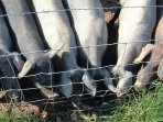 More of our neighbours. Alentejo black pigs. Always vey curious!