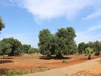 Olive grove with centuries-old olive trees - discover the different stunning shapes.