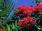 Rosebay is surrounded by tropical flowers such as these bougainvillea