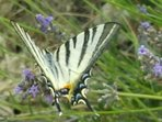 Butterfly on the lavender in the garden
