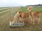 Alpacas Kim, Barney & Angus