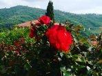 Rose nel giardino