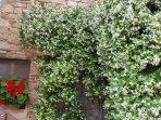 Jasmine scented entrance (June)