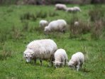 Sheep next door !