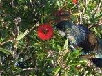 Tui - native bird in our garden
