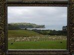 Sheep grazing at Shakespear Regional Park