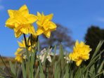 Daffodils in springtime - just look at that blue sky!
