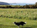 Up to 4 dogs welcome at Yr Ffald cottage. Our 4 acre enclosed paddock is perfect for dogs