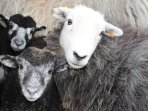 Magi's Herdwick sheep - so cute! Enjoy the farm animals on our farm in Mid WAles
