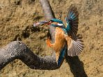 Kingfisher feeding and nesting at Butterwell