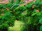 Our beautiful mimosa or albizia tree.