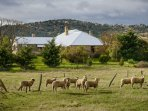 Walk amongst sheep or feed the adorable lambs on heritage listed sheep property.