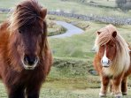A regular site on Dartmoor, ponies running loose
