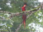 red macaw very comun in here