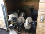 Our flock of friendly sheep