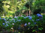 Meander through our lovely hydrangea garden