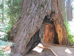 Calaveras Big Trees State Park less than 5 minutes from the Bluebird House
