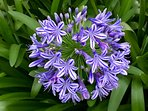 Agapanthus.  The cottage is named after this plant which grows profusely and blooms May-June.