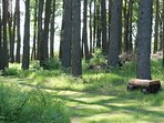 The Scots pine wood.