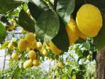 Famous lemons of Sorrento! ask for our tour!