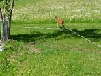 a deer in the garden by the Chalet search fresh gras