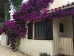 Just One Of The Bougainvilleas Around The Villa.
