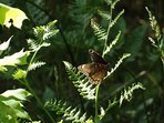 Butterfly on a fern we seen while walking the paths in the fern filled wooded area 'Fern Valley'