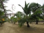 Half acre of lush coconut garden