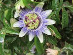 Exotic Passion flower