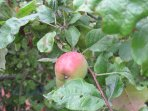 Two apple trees in the yard