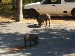 Warthogs visiting