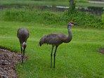 Local visitor Sandhill Cranes