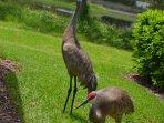 Frequent local visitors - Florida Sandhill Cranes.  Protected beautiful cranes.