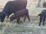 Brangus spring calves.